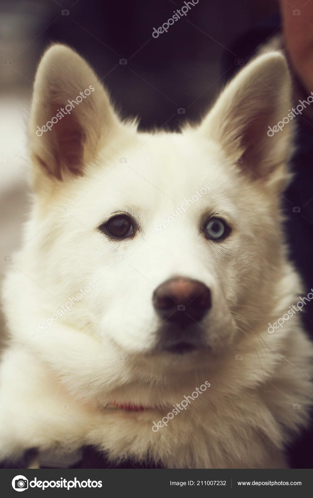 Head of big white dog with brown and blue eyes — Stock Photo