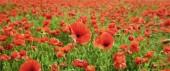 Poppy flower field, harvesting.