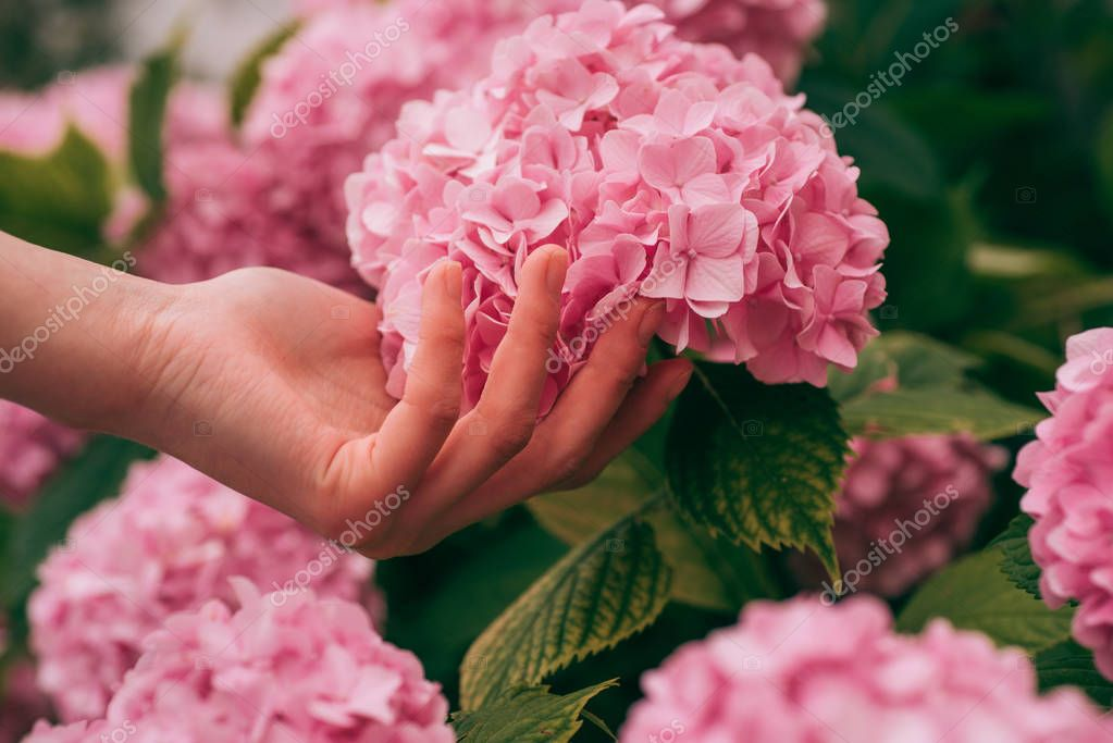 hydrangea. Spring and summer. Flower care and watering. soils and fertilizers. hand skincare. Greenhouse flowers. woman care of flowers in garden. gardener with flowers. Piece of nature