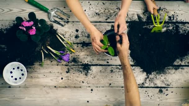 The boy helps parents plant flowers in pots. Close-up of hands that plant flowers in pots. Concept of gardening. Gardeners hands planting flowers.