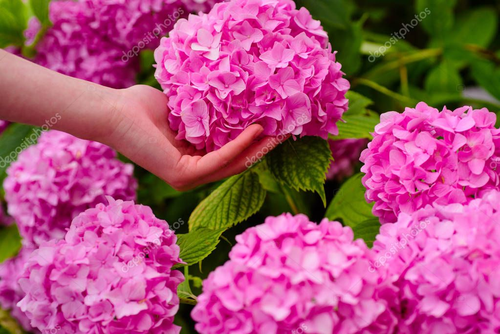Flower care and watering. soils and fertilizers. hydrangea. Spring and summer. Greenhouse flowers. gardener with flowers. woman care of flowers in garden. Greenhouse shopping. perfect hand skin
