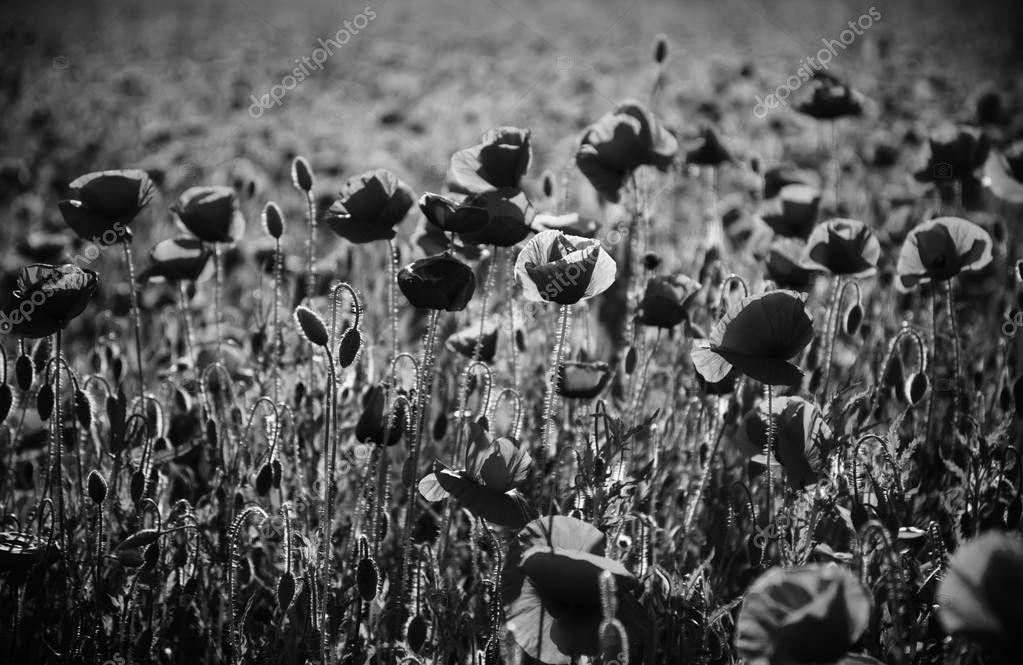 poppy seed or red flower in field