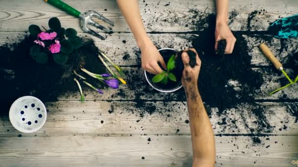 Son helps parents plant flowers in pots in the summer. Gardener hands close-up. Family planting flowers in pots.