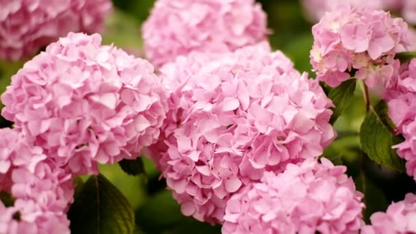 Beautiful pink hydrangea background. Blooming hydrangea flower open, close-up. Wedding backdrop, Valentines Day concept. Outdoors, summertime. Lilac flowers bunch background.