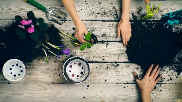 The boy helps parents plant flowers in pots. Close-up hands that plant flowers in pots in the spring.