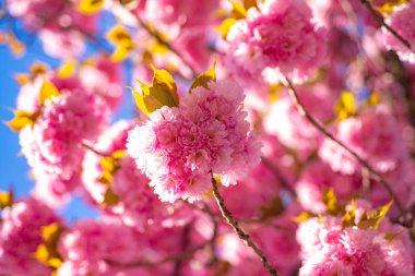 Cherry blossom. Springtime. Spring flowers with blue background and clouds. Sacura cherry-tree.