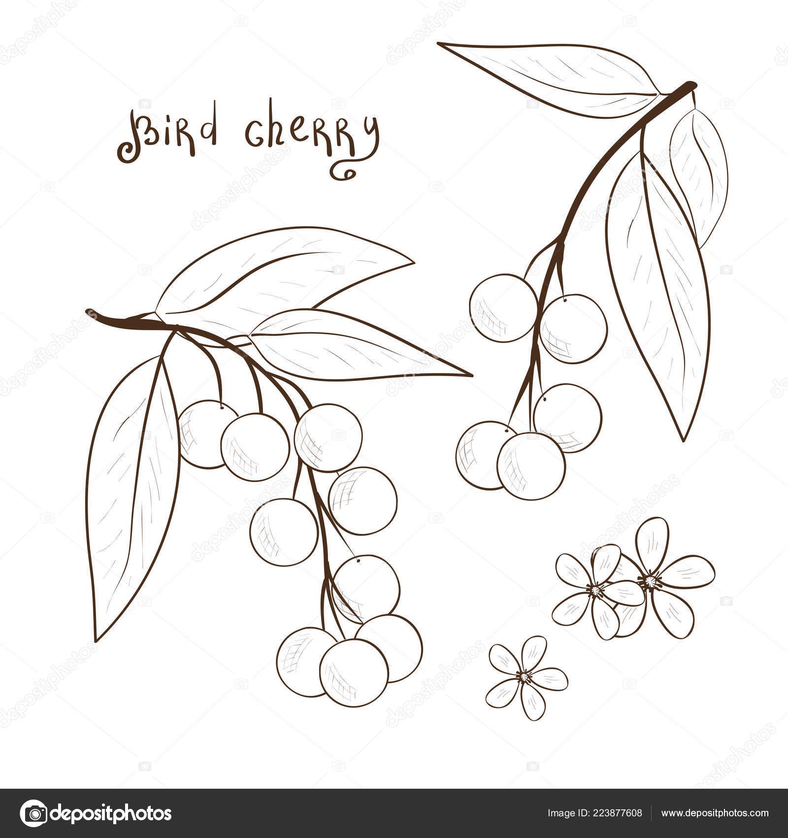 Cerisier Des Oiseaux Dessin Noir Et Blanc Baies Et Fleurs