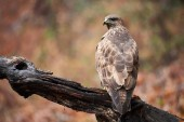 Photo Common buzzard (Buteo buteo) a bird of prey that have a large variety of plumage
