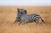 Fotografia Due Zebre selvagge combattono nella savana della Tanzania