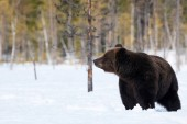 Fotografie Brown Bear standing in the snow in spring awakening