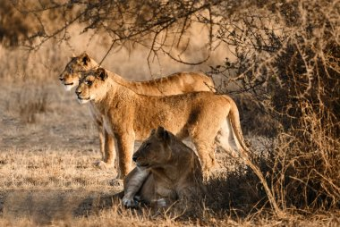 Three beautiful lionesses (Panthera leo) in the bush of the Serengeti N.P.  look for prey to hunt.