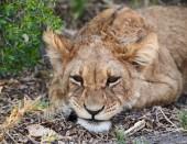 Piccolo cucciolo di leone sdraiato per terra ti guarda.