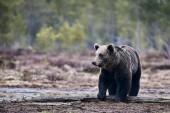 Fotografie Divoký medvěd hnědý (Ursus arctos) chůze ve finské Tajga v brzy na jaře