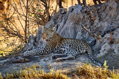 Beautiful leopard (Panthera pardus).