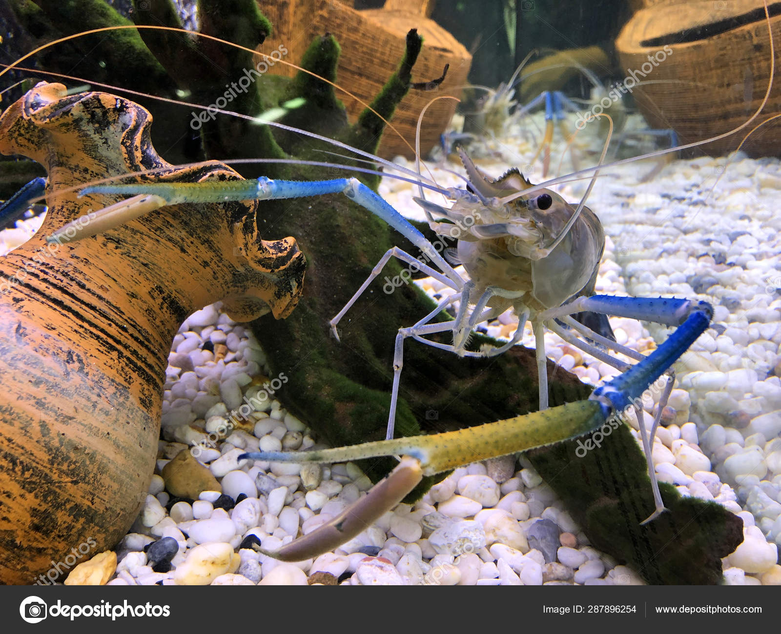 Giant freshwater prawn or giant river shrimp in tank