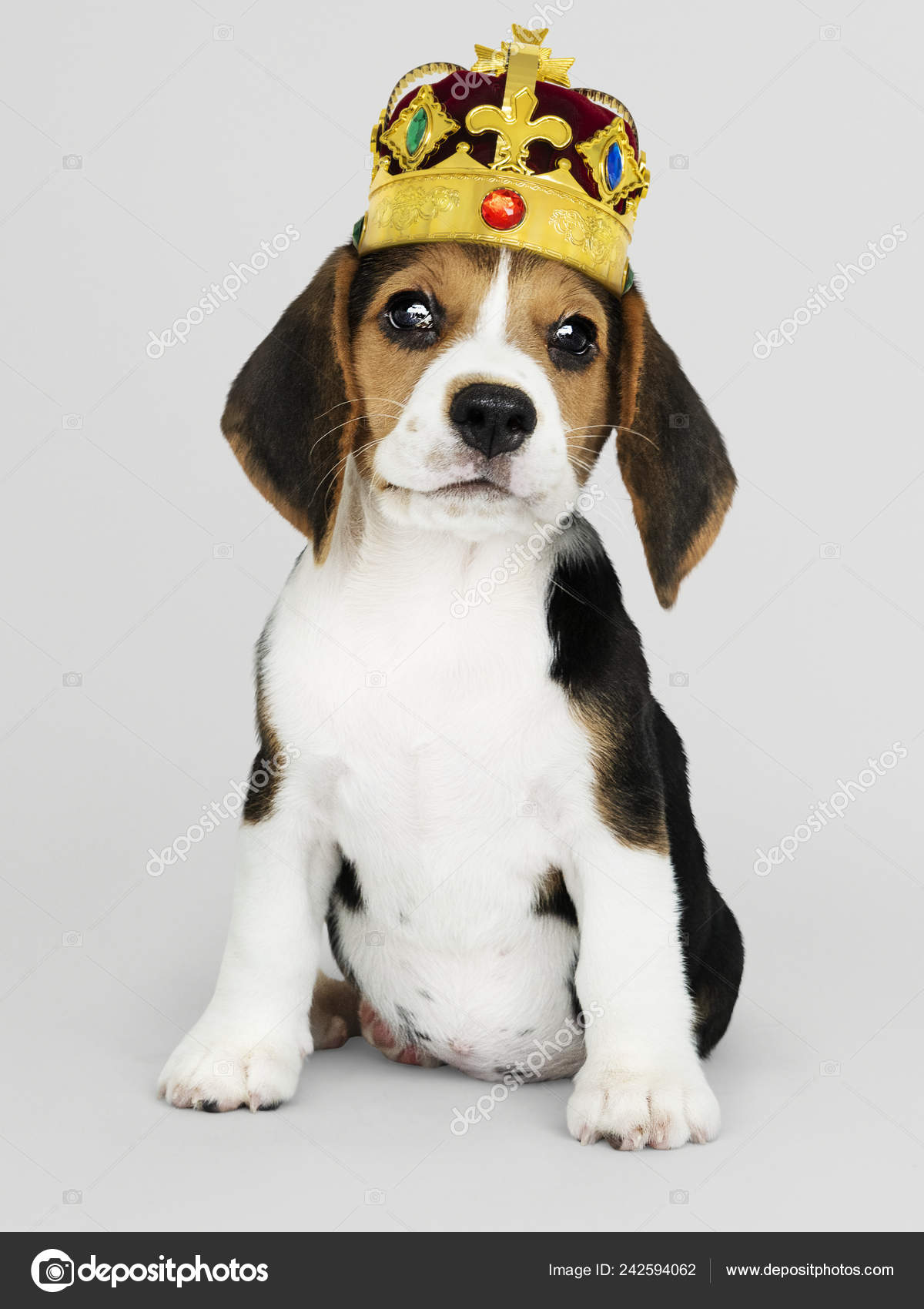 Cute Beagle Puppy Classic Gold Red Velvet Crown Stock Photo C Rawpixel 242594062
