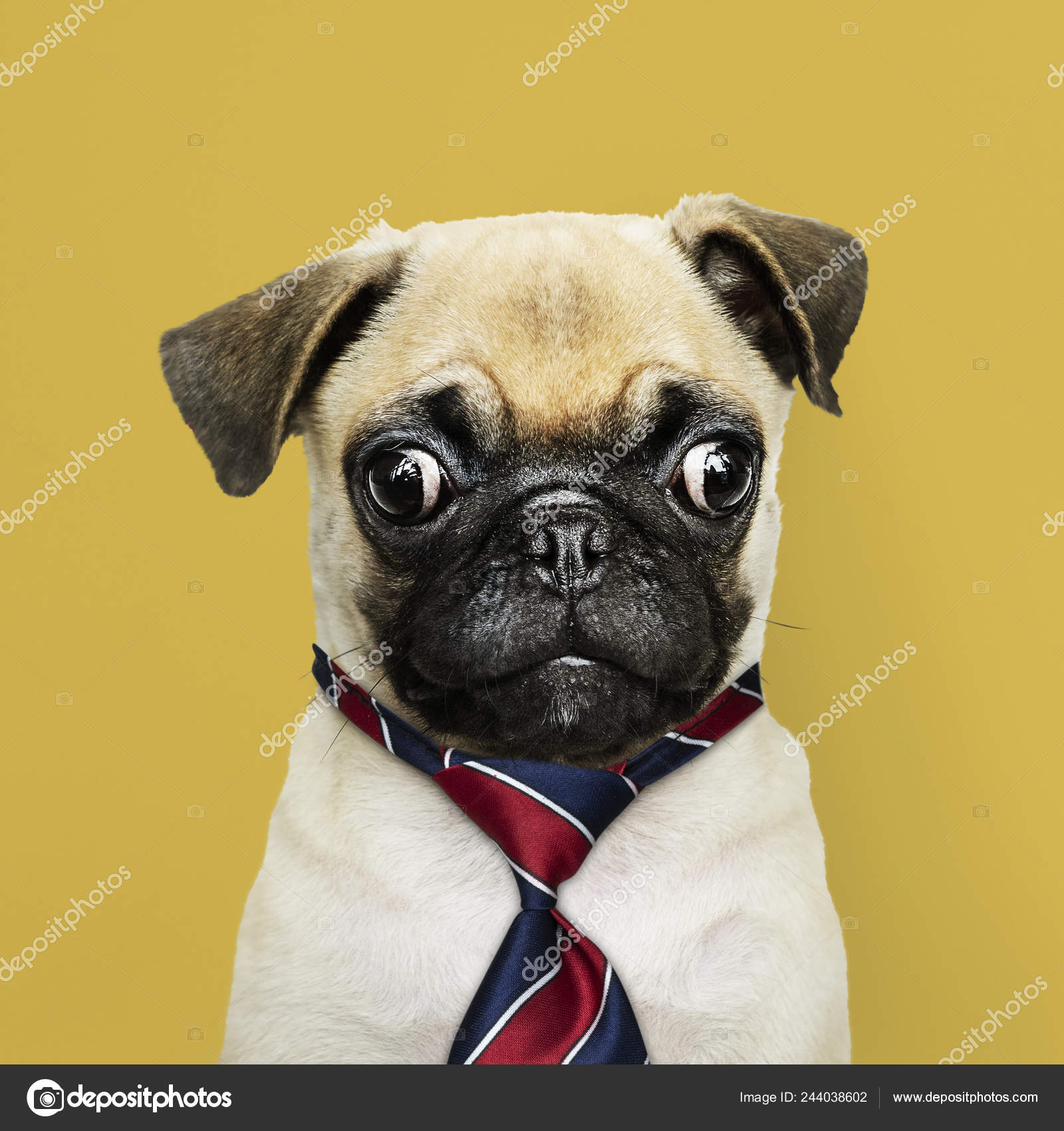 Cute Pug Puppy Red Blue White Striped Necktie Stock Photo C Rawpixel 244038602