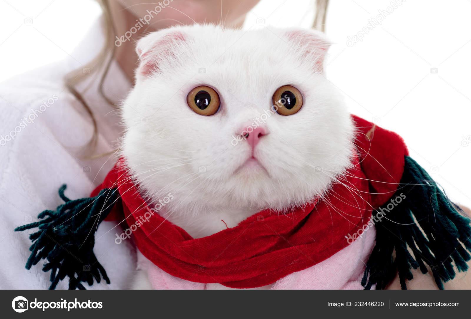 c8377fa22c3f Χριστούγεννα Χνουδωτή Γάτα Φιλόξενο Ζώο Στο Σπίτι Άσπρη Γάτα Άσπρο — Φωτογραφία  Αρχείου