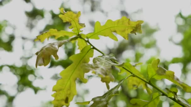 oak leaves with blur background
