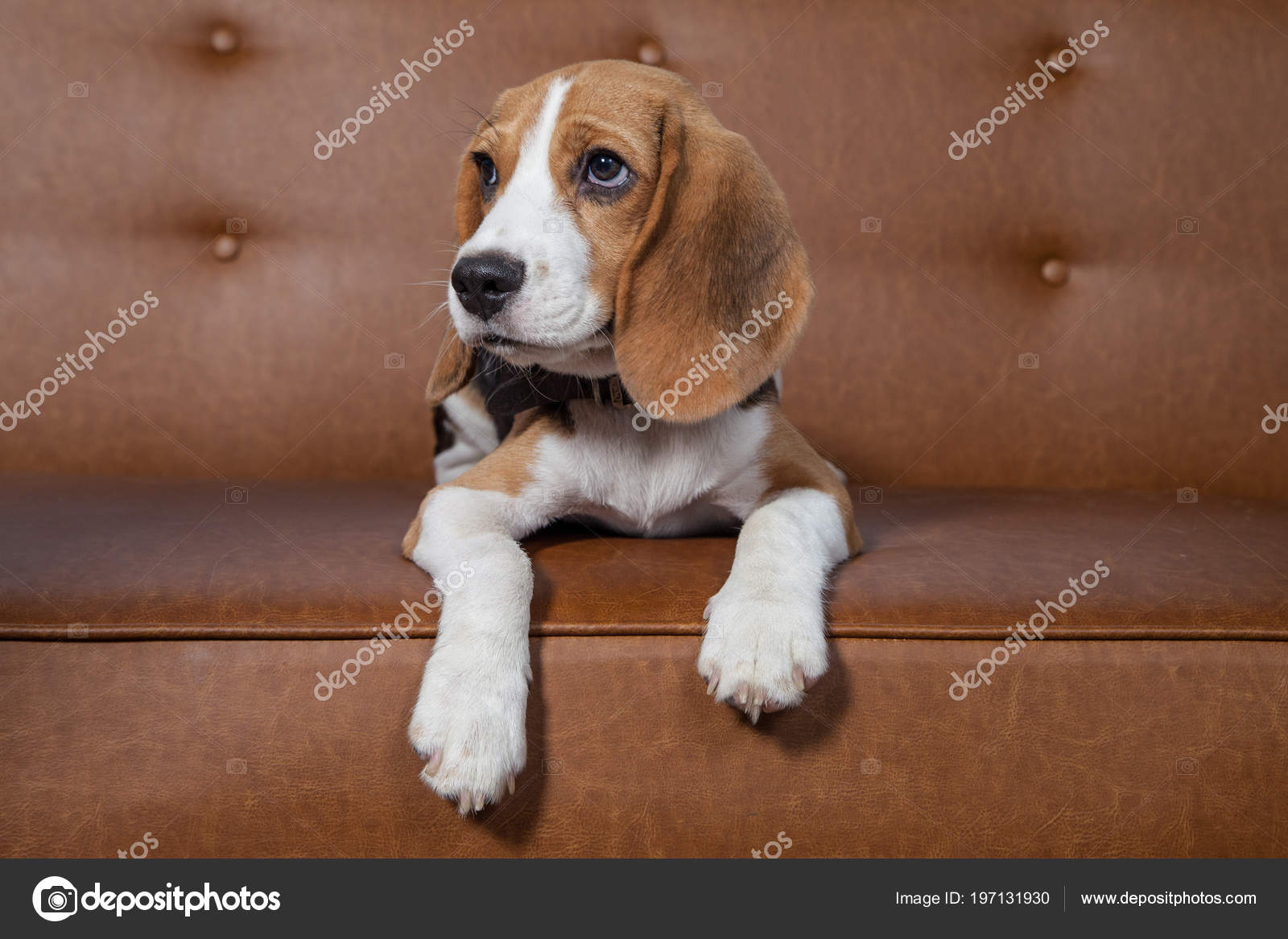 Beagle Puppy Brown Sofa Stock Photo C Aradaphotography 197131930