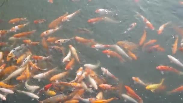 Koi hal etetés a tóban Vietnamban.