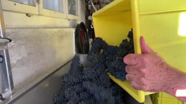 Liestal, Svájc - 2020. szeptember 22.: A szüret után az ember az érett vörös szőlőt a sárga műanyag dobozból a malomba rázza
