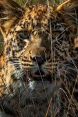 Photo close view of wild leopard resting in high dry grass in savannah