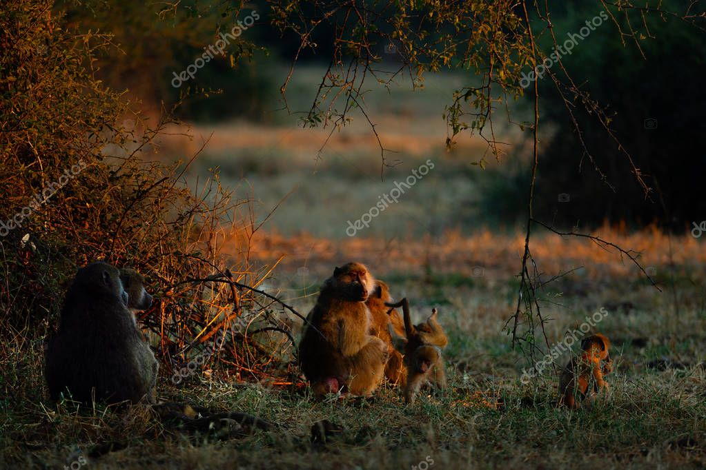 African monkeys resting in green bushes at sunset