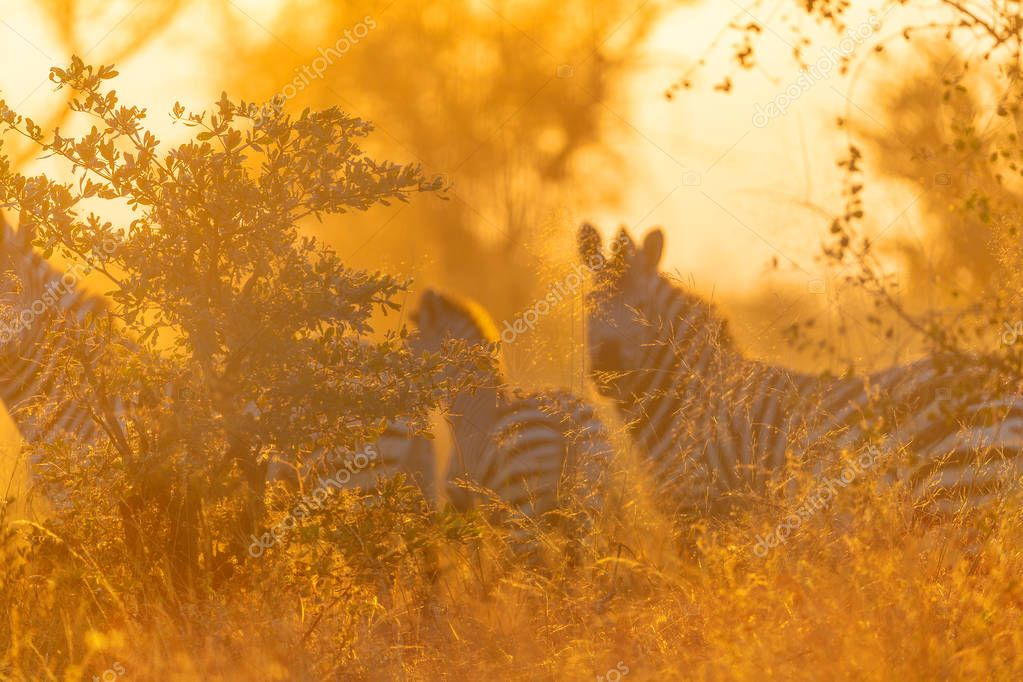 Zebras herd in grassland in african savannah at sunset