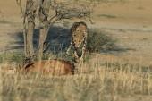 Gepard straší impala v savaně v Namibii, Afrika