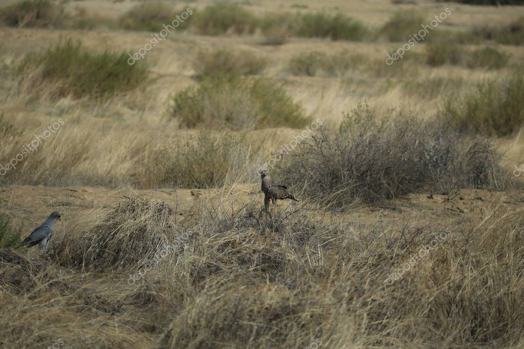 Pair of secretary birds in savanna in Namibia, Africa