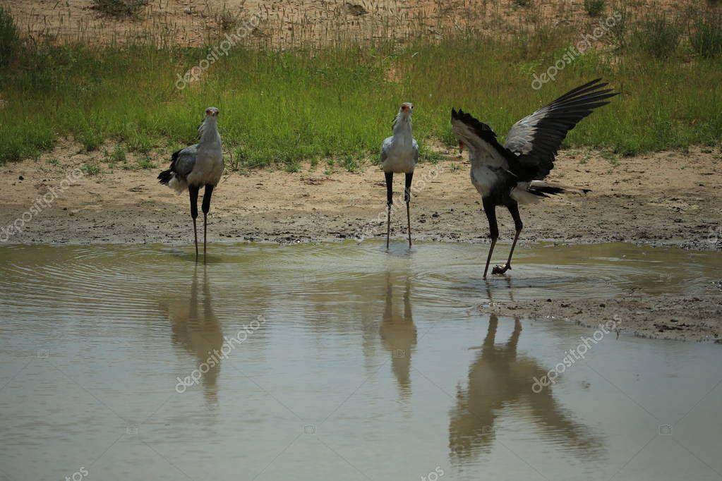 Secretary birds standing near pond in savanna in Namibia, Africa
