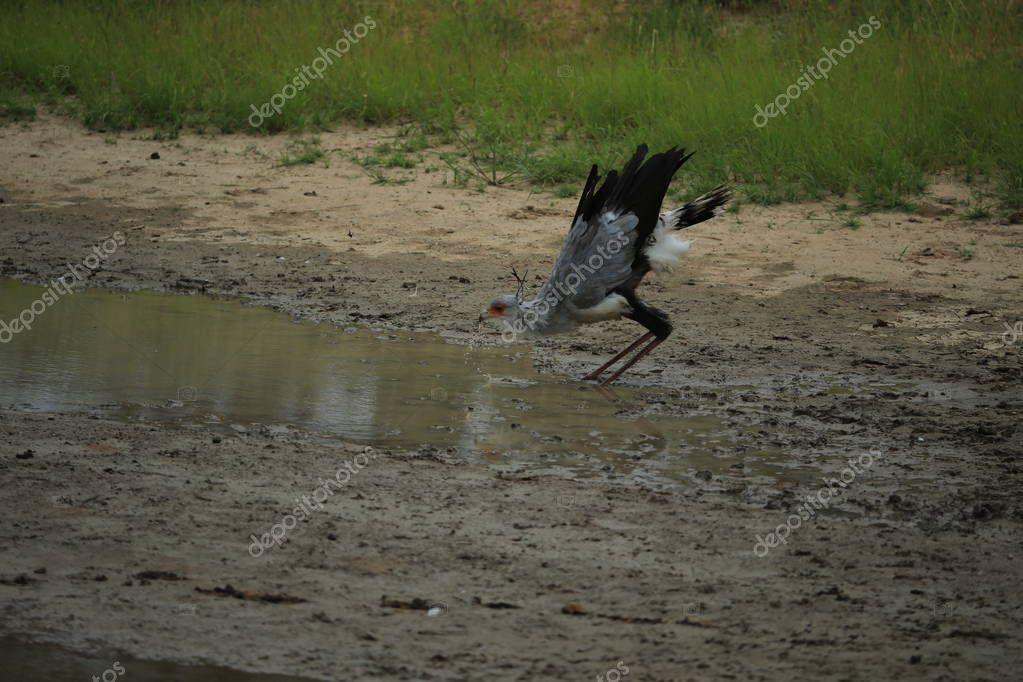 Secretary bird drinking water in savanna in Namibia, Africa