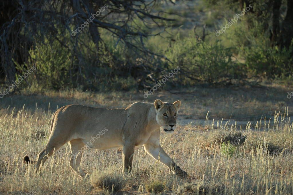 Lioness hunting in savanna in Namibia, Africa