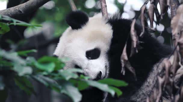 A fiatal óriás panda kölyök alszik és ráhajtja a fejét egy fára. Mozgatja az arcát és a nyelvét alvás közben. Közelről. Chengdu, Szecsuán tartomány, Kína.