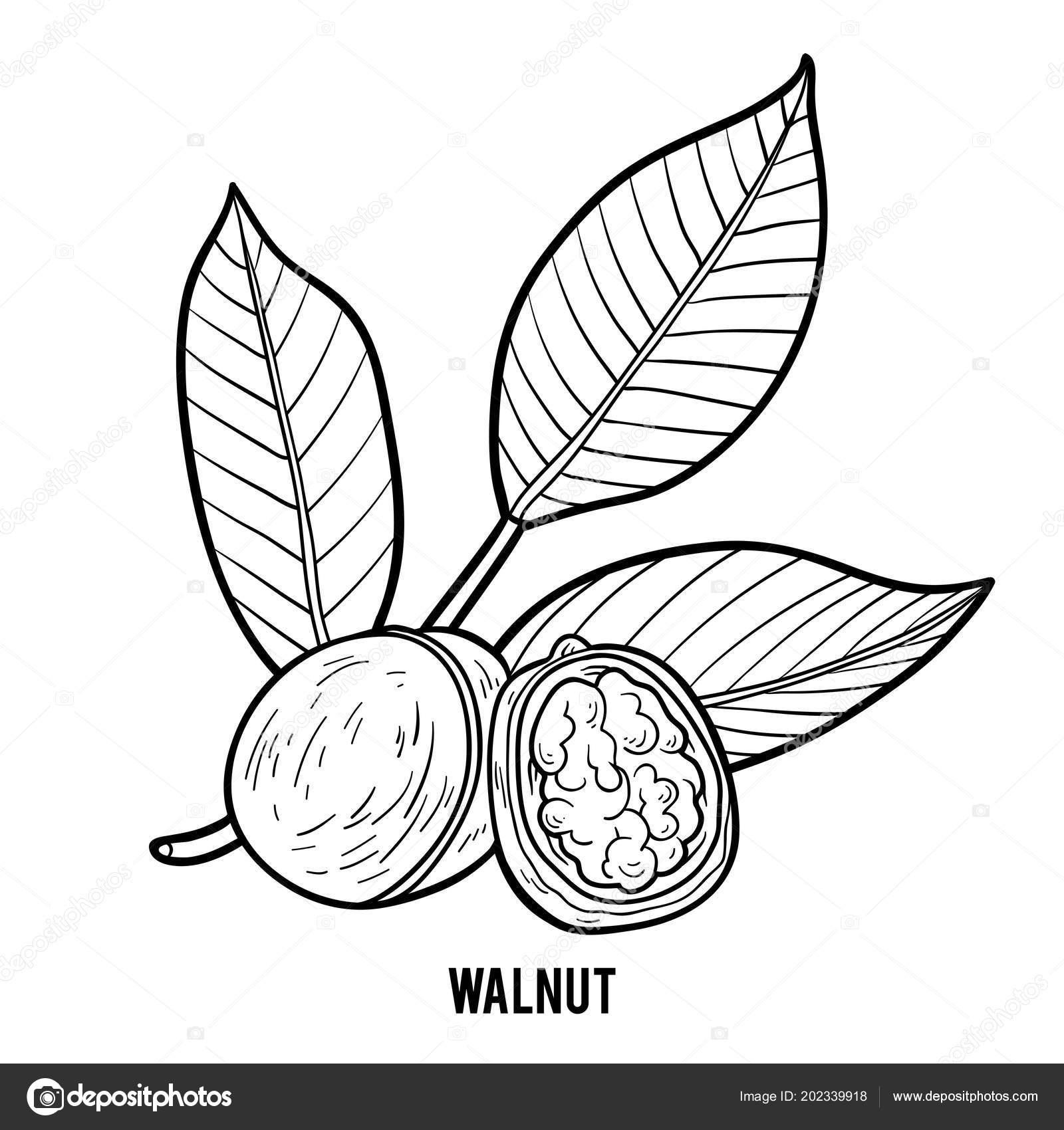 Coloring Book Children Walnut Stock Vector C Ksenya Savva 202339918
