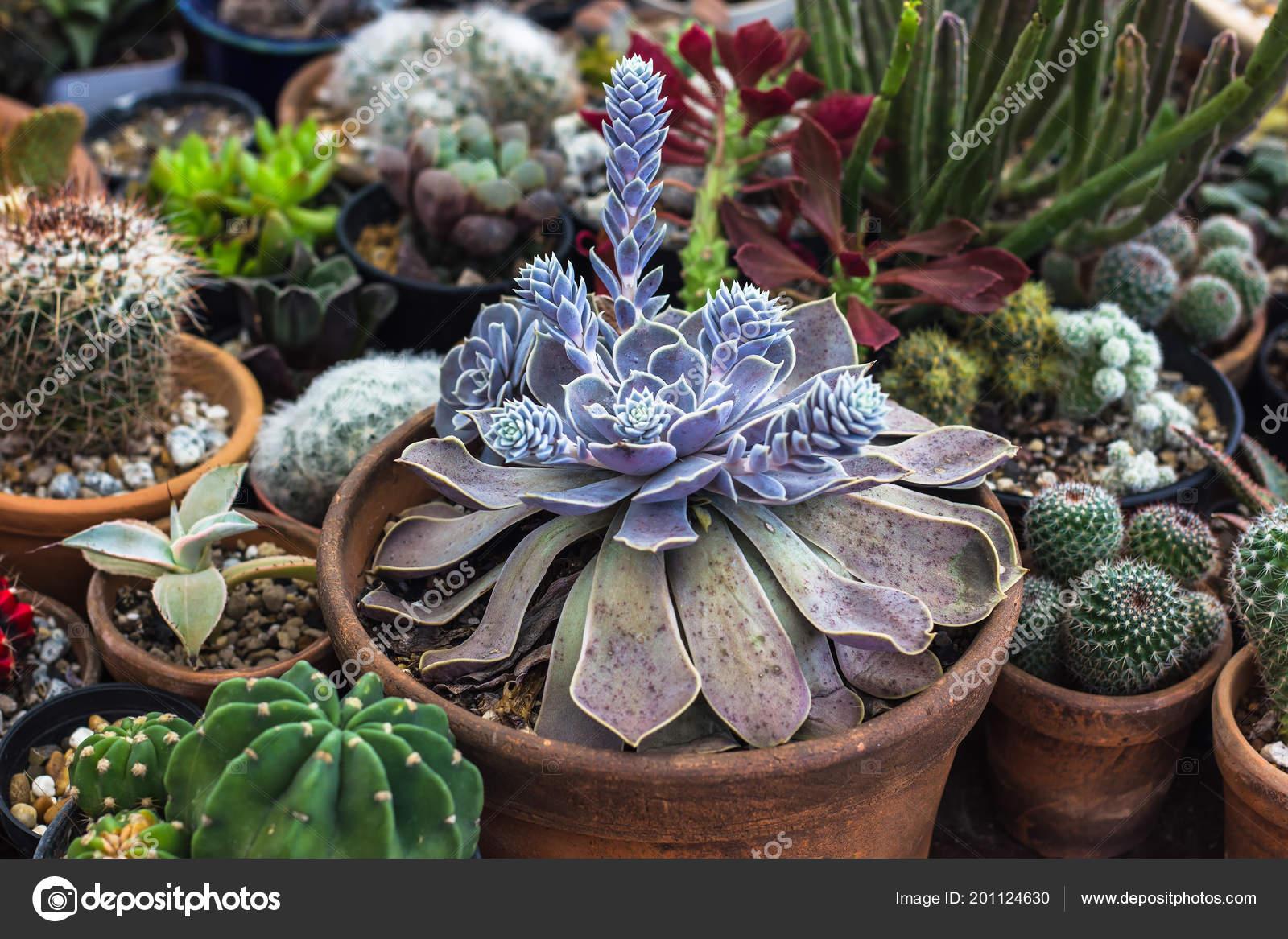 Pictures Succulents Garden Design Collection Cactus Succulents