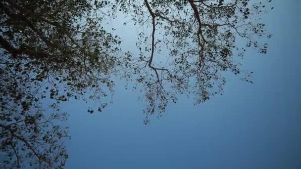 vítr vanoucí zelené listy bodhi nebo Peepal strom.