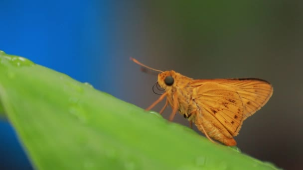 orange butterfly on nature background. Insect Animal. Potanthus is a large genus of skipper butterflies.The large skipper (Ochlodes sylvanus) is a butterfly of the family Hesperiidae.