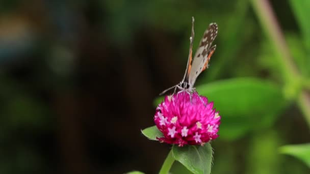 Close-up Of Butterfly Pollinating on a pink flower in garden, blurred green background, extreme close up with backlight.
