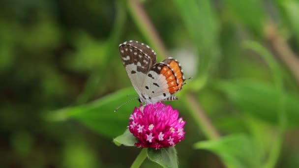 Detailní záběr motýla opylování na růžovém květu v zahradě, rozmazané zelené pozadí, extrémní zblízka s podsvícením.