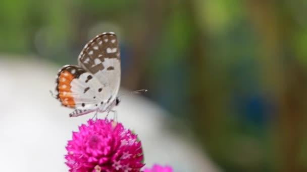 Közelkép pillangó beporzás egy rózsaszín virág a kertben, elmosódott zöld háttér, szélsőséges közeli háttérvilágítással.
