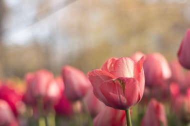 The beautiful garden with various type of tulips and various vibrant and vivid colors are blooming around in the summer season in Netherlands during holidays shows a feeling of love, nature, romantic, elegant, freshness, and serene to everyone