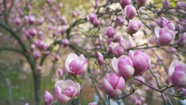 Květiny růžové Magnolie. Magnolia Kvetoucí strom