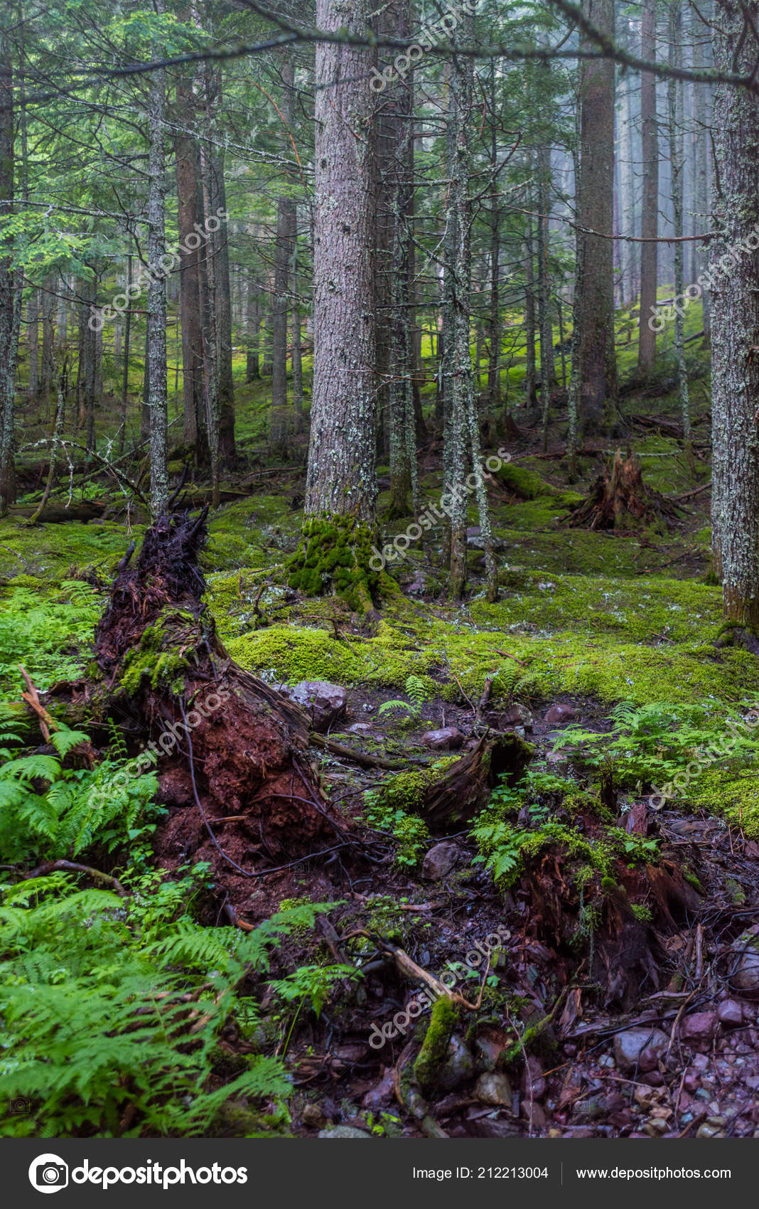 Mossy Forest Floor Foggy Day Thick