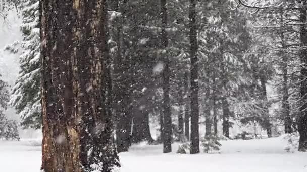 Dvě velké stromy stojí v sněhové bouři čtvrtletí rychlost v Kalifornii lese