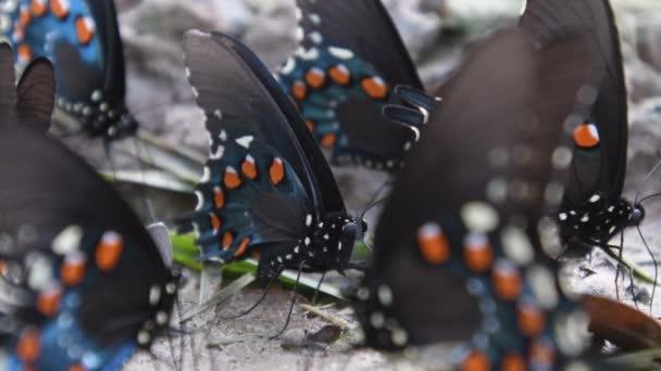 Pipevine Swallowtail pillangó közelről