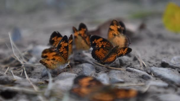 Silvery Checkerspot Butterfly Stretching Its Wings in group of butterflies