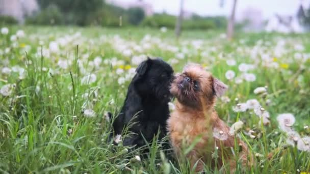 Two griffon dogs sitting in grass