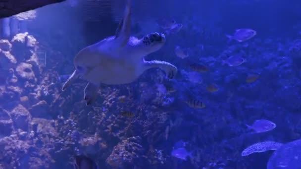 Nagy Zöld Teknős Chelonia mydas úszás az akváriumban.